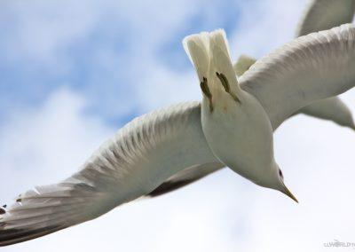 To Flåm Gull CU