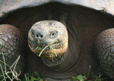Tortoise - Galapagos